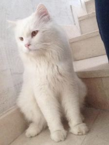 kitkat pets for adoption oman muscat