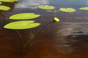 lillypad leaves on water for adoptionhubuk website
