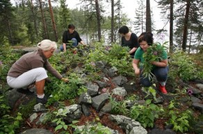 Lapinraunion kiveystä siivotaan kasvillisuudesta.