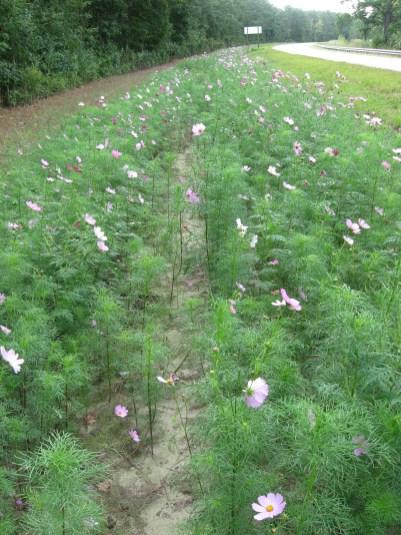 Roadside Flowers, Alligator Wildlife Preserve, NC
