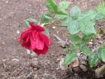 Floricica 3 Rose_resize