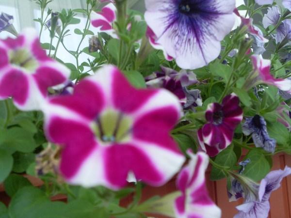 Floare de balcon