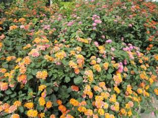 adriano-gronard-arquitetura-paisagismo-lantana-flores-touceiras-top