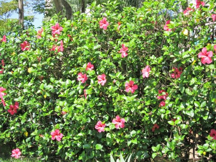 adriano-gronard-hibisco-rosa-paisagismo-arquitetura-cerca-viva