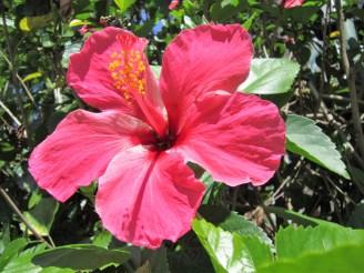 adriano-gronard-hibisco-top-paisagismo-rosa