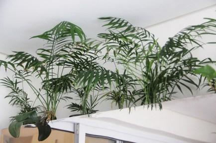 A chamaedorea elegans está entre as palmeiras ideais para ambientes internos ou varandas com pouco sol! Estas são da ver~sao miniatura da planta e estão em uma floreira que projetei (sob medida) em inox.