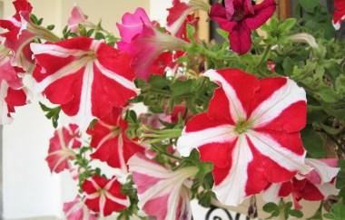 adriano-gronard-paisagismo-petunia-flor-flores-IMG_2541