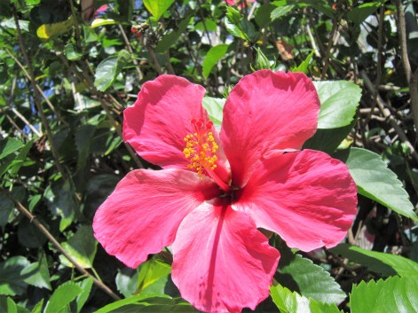 hibisco-rosa-zoom-adrianogronardphoto-adriano-gronard-paisagismo