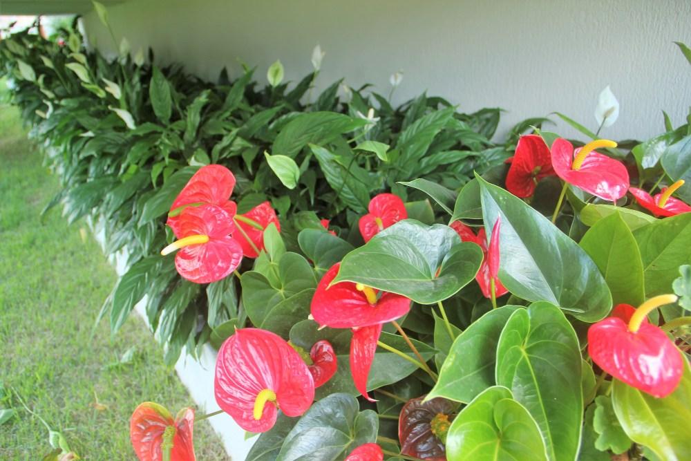 Antúrios vermelhos em conjunto com lírios da paz. Ambas as plantas não precisam de luz solar direta. Imagem e projeto de paisagismo: Adriano Gronard