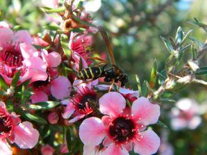 Abelha polinizando as flores de uma érica-japonesa (Leptospermum scoparium)
