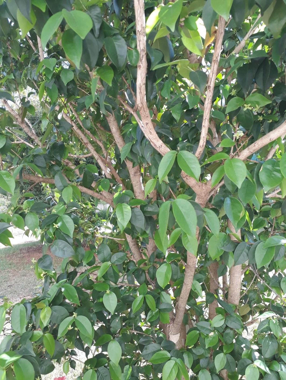 Tirei essa pitangueira de um vaso pequeno da minha varanda e plantei em um jardim. em questão de 2 anos, ela já passou de 1,30m ara mais de 4,00m de altura! Entre julho e agosto , há a troca de folhas, mas a árvore nunca fica pelada (não é totalmente decídua).