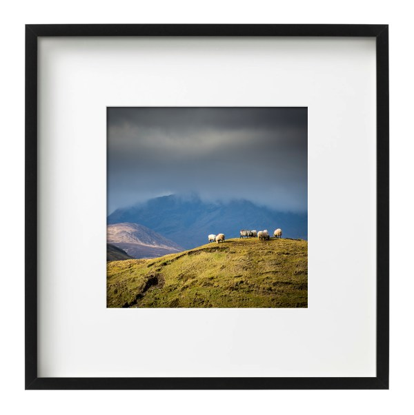 Sheep on a Hill | Co. Mayo