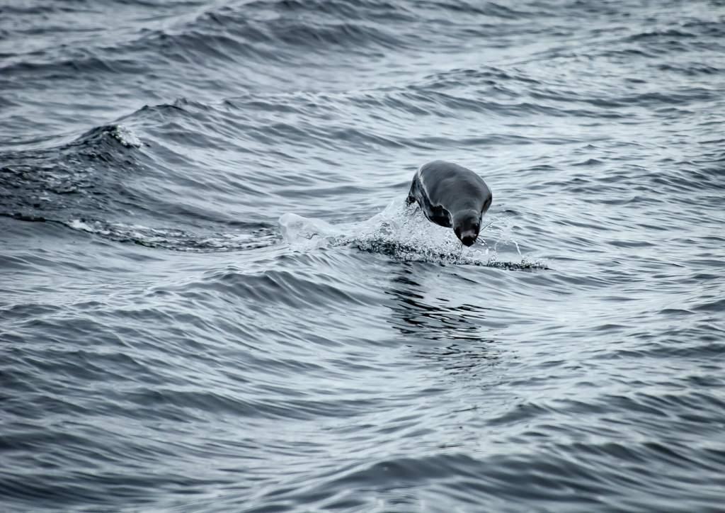 Fur Seal Beagle Channel Chile