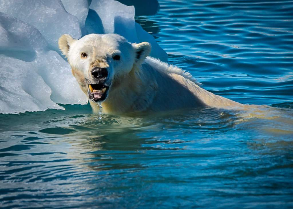 East Greenland Polar Bear Fangs