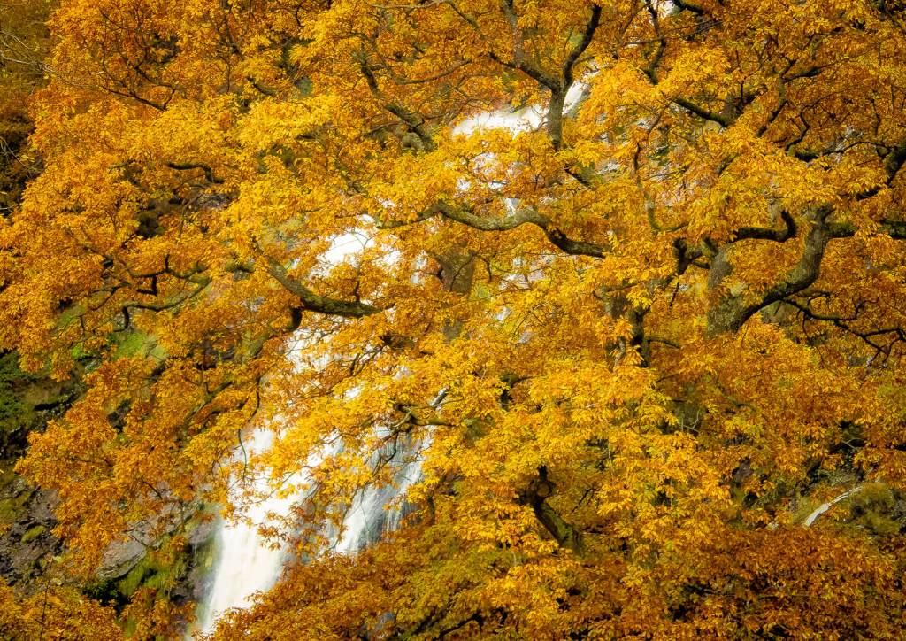 Tree Full Autumn Colour Powerscourt Waterfall