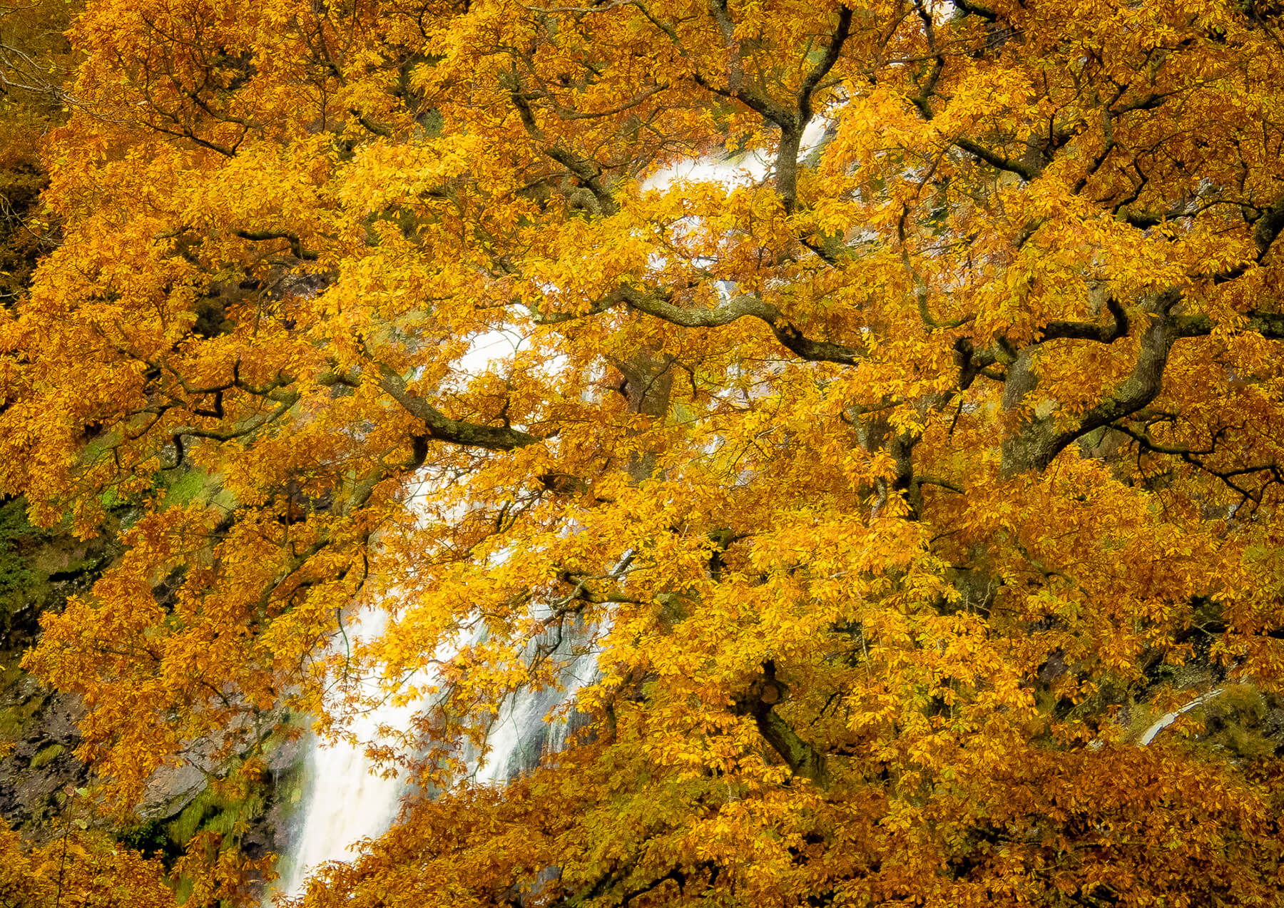 Tree Full Autumn Colour Powerscourt Waterfall