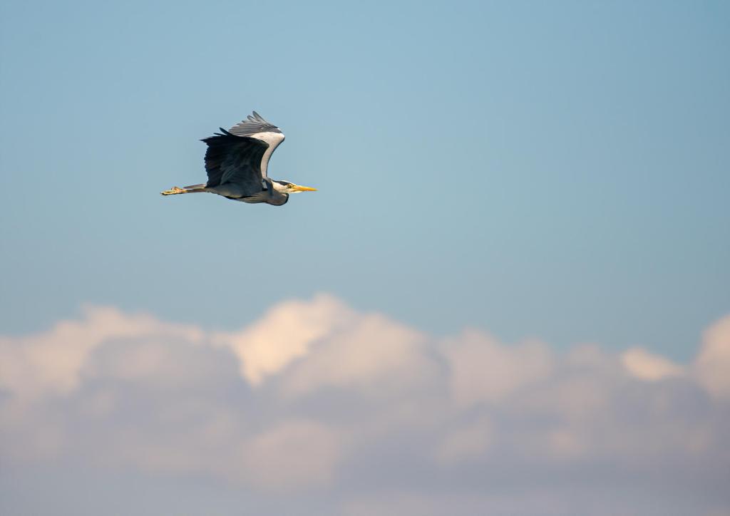 Grey Heron Dublin Bay Clouds