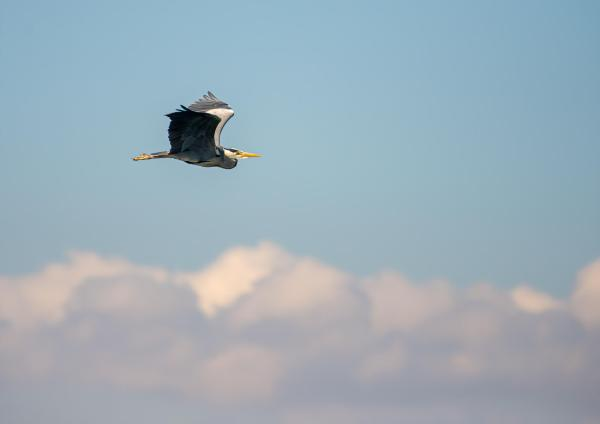 Grey Heron Dublin Bay Clouds