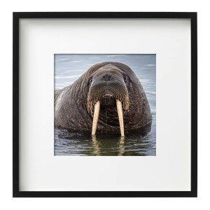 Coo Coo Ca Choo, Walrus,Svalbard Photos
