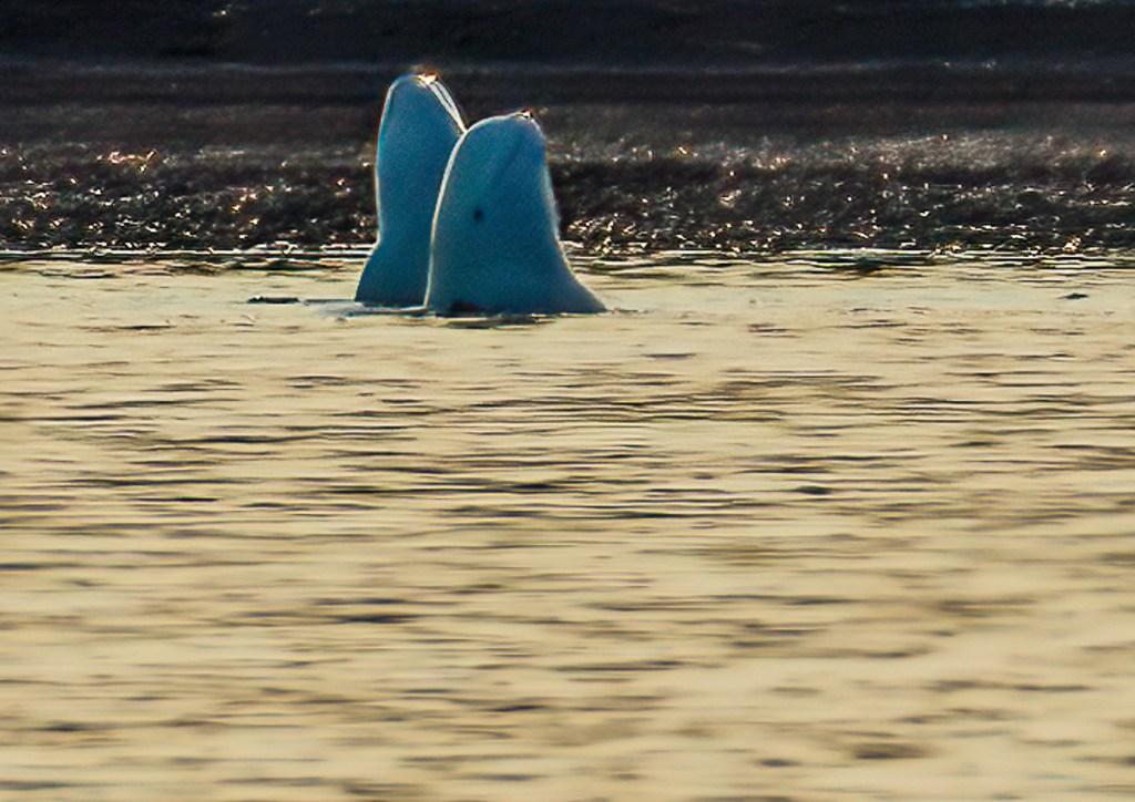 Svalbard Spitsbergen Beluga Whales
