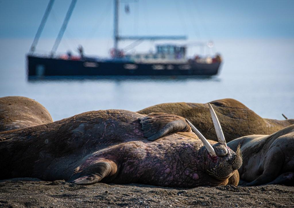 Svalbard Spitsbergen Walrus Colony Poolepynten