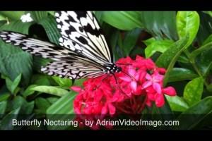 Butterfly Video Clip - Feeding on Flower Nectar