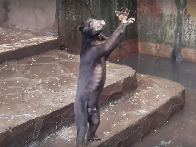 Indignación ante el vídeo de estos osos esqueléticos suplicando comida en un zoo