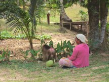 Trained coconut collector