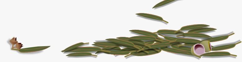 arboreto de eucalipto