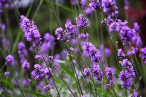Lavender_Wiki