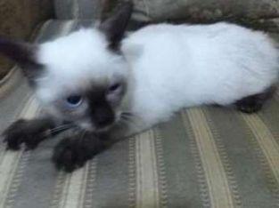قطة سيامى هادية و بتحب اللعب و عسولة