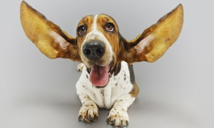 Cultivate-listening-dog-with-big-ears-eaff38cfbbd5010dbceb4ba65b1dd6ad54c33b12