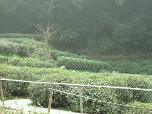Tea bushes, near Suzhou, China