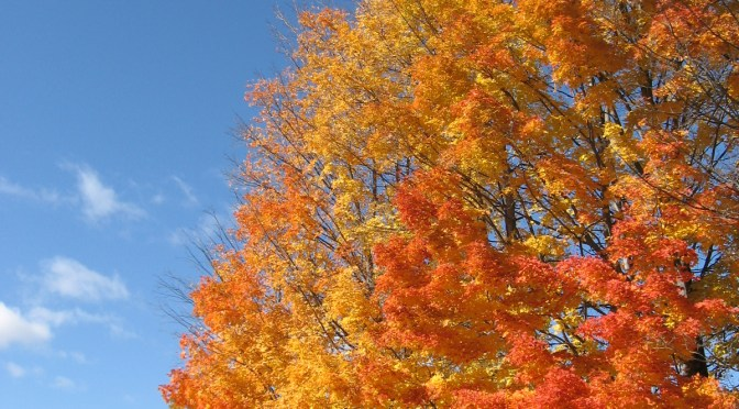 A brilliant orange and yellow cone shaped tree in autumn against a bright blue sky with a few wispy clouds