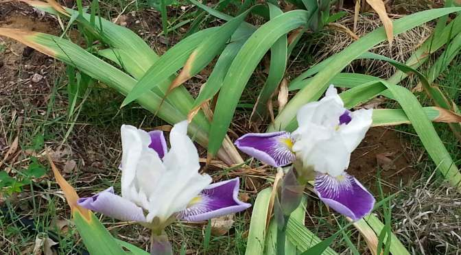 Irises blooming in Denise's backyard