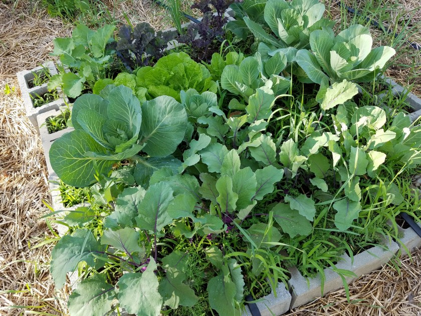 One of the raised garden beds made with cement blocks