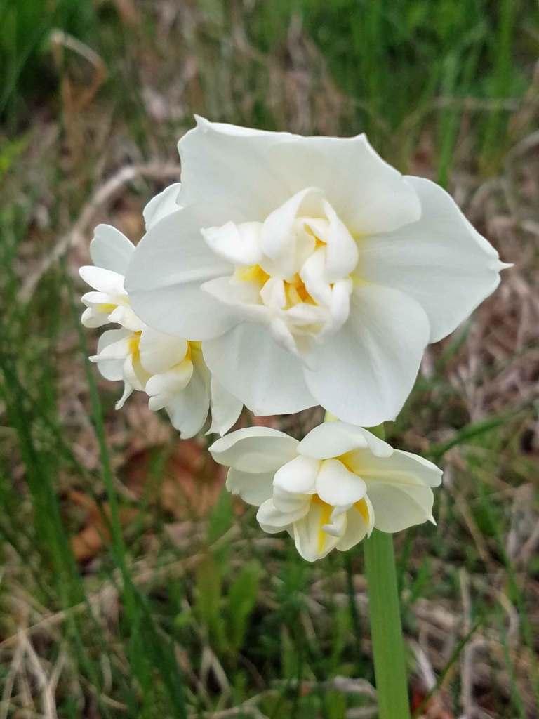 Daffodils in Denise's backyard