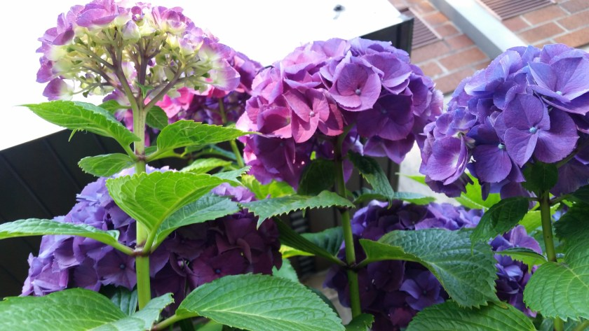Purple-blue hydrangea flowers at an awkward angle