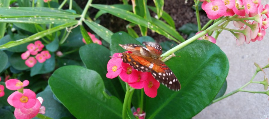 Orange and black with white spots butterfly on a bright pink flower.