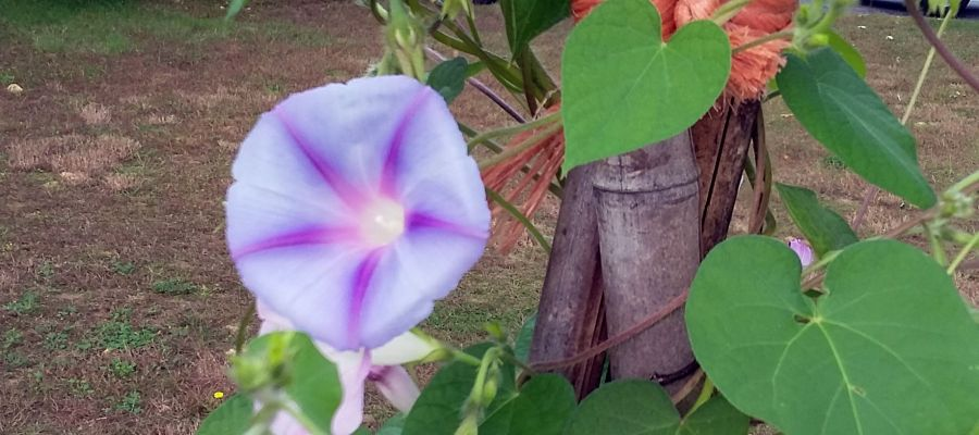 Morning Glories in Denise's backyard