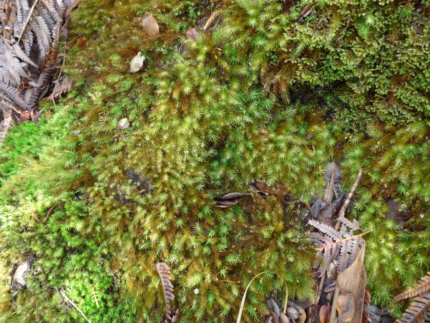 Loads of bright green mosses (or moss-like plants -- I'm not a biologist) from a Hawai'i rainforest