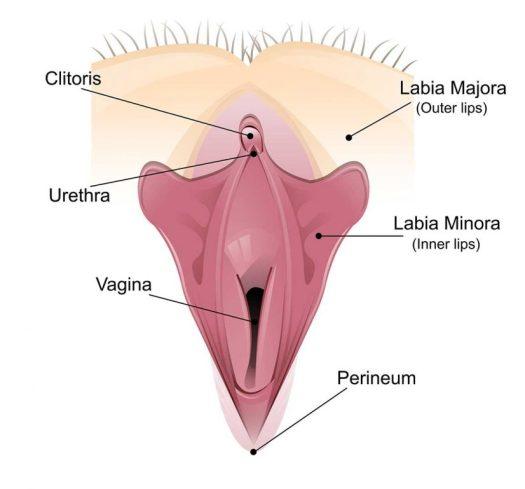 Vagina Labelled Diagram