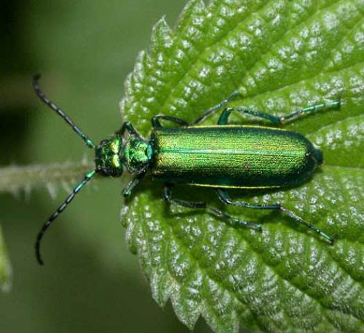 Spanish Fly Green Beetle