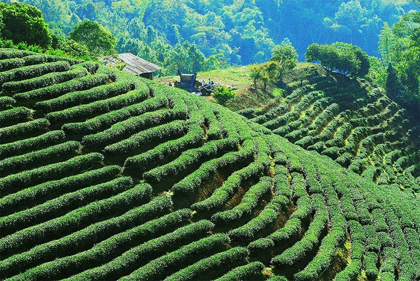 Beautiful Tea Harvesting Land