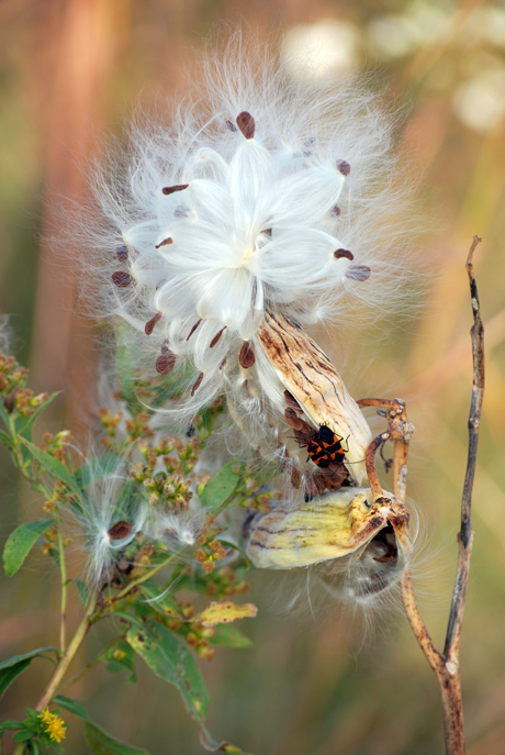 Dried Milkweed, Cherokee Marsh, Madison, WI