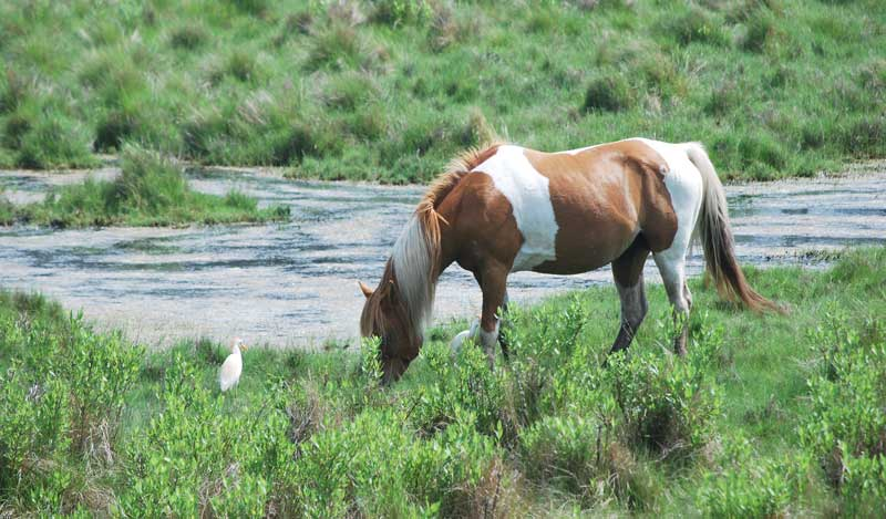 Chiconteague Pony