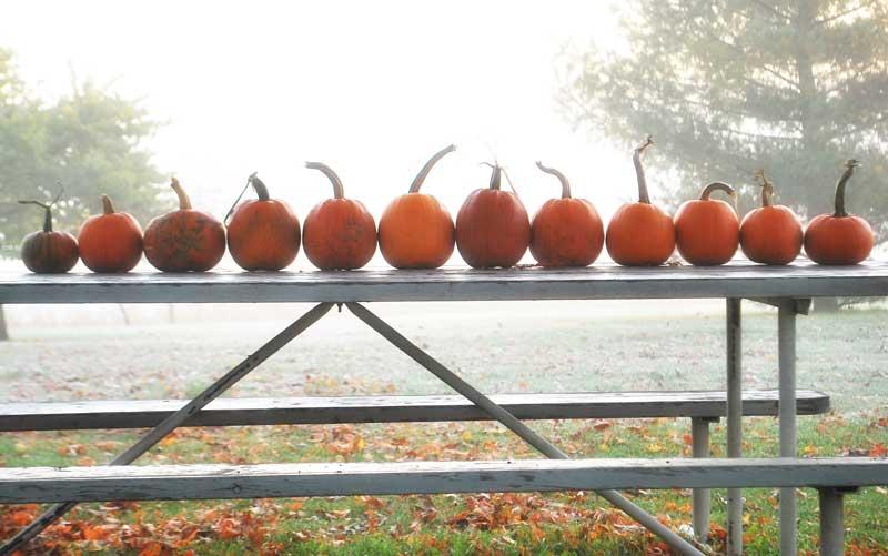 Pumpkins awaiting pie!