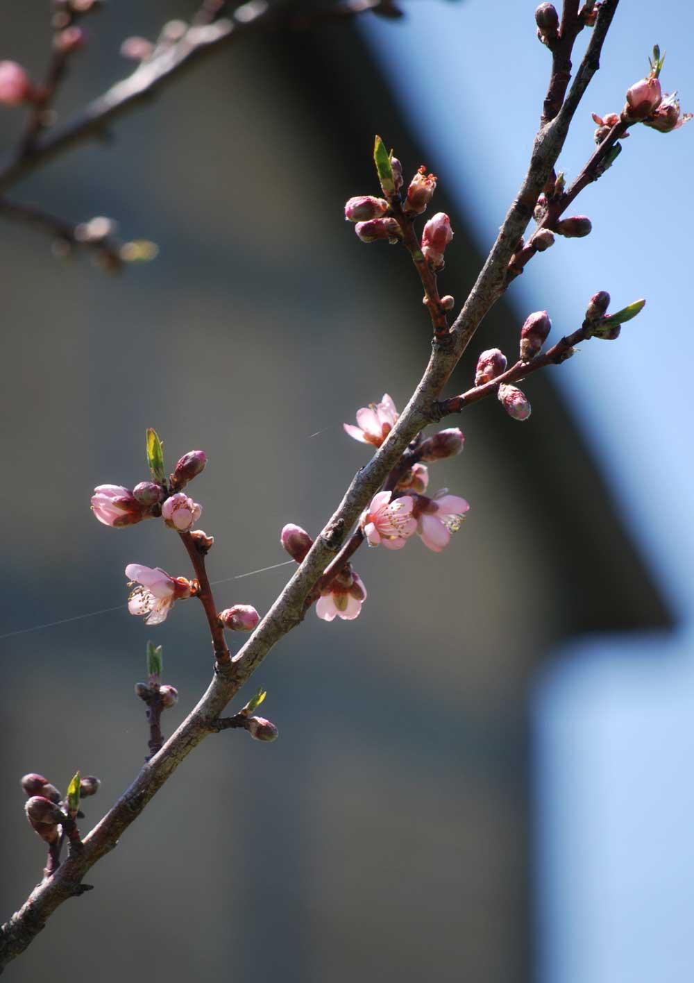 Spring blossoms against Fachwerk Barn