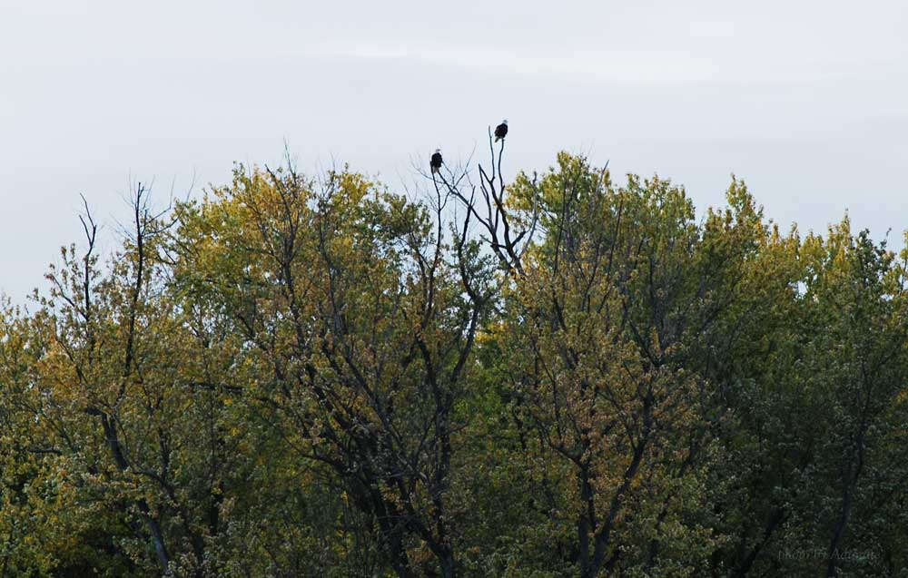 Eagles at Eagle's Roost Resort, Cassville, WI