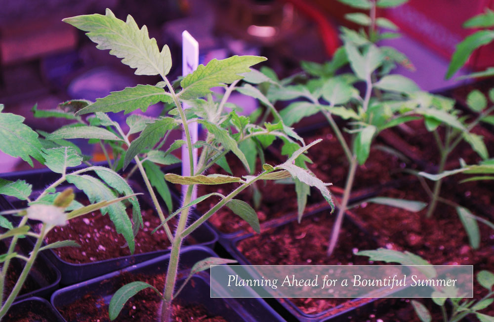 tomato seedlings under a light